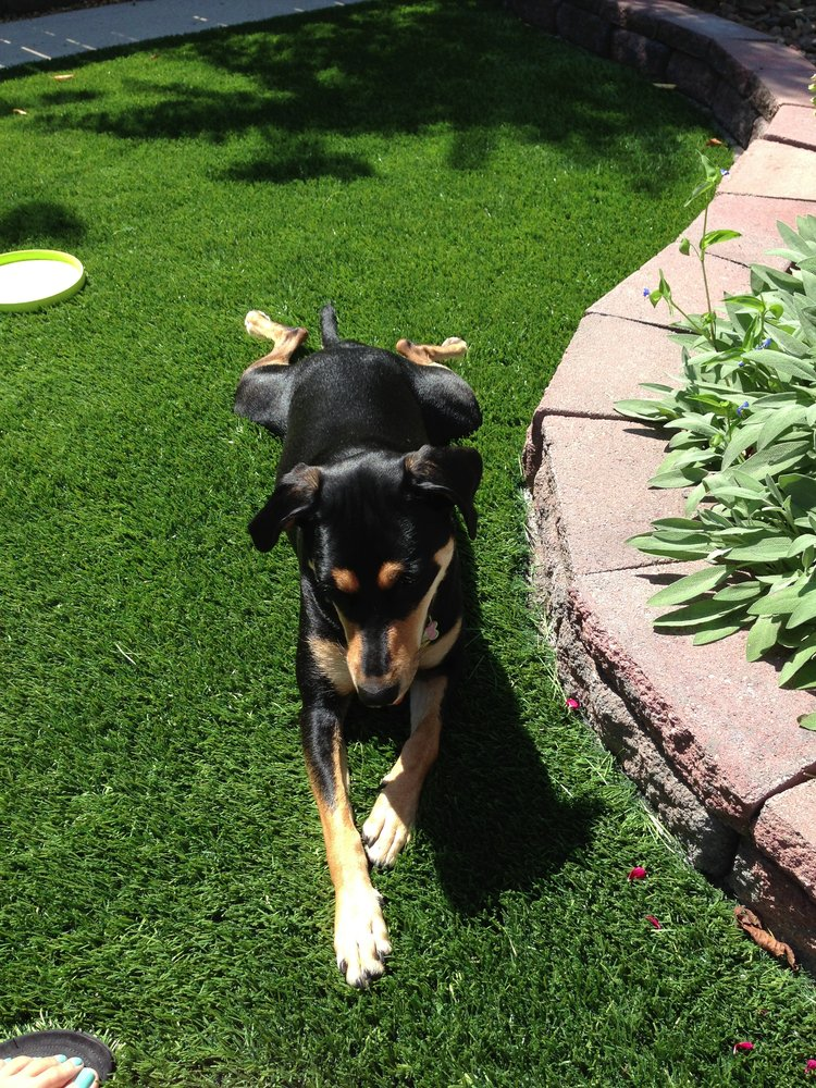 Dog enjoys synthetic grass installation on summer day in Chicago